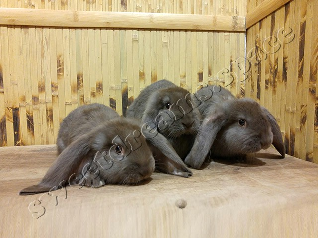 Кролики малыши Французский Баран Гавана
