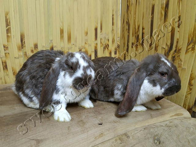 Кролики малыши Французский Баран Гавана Плащ