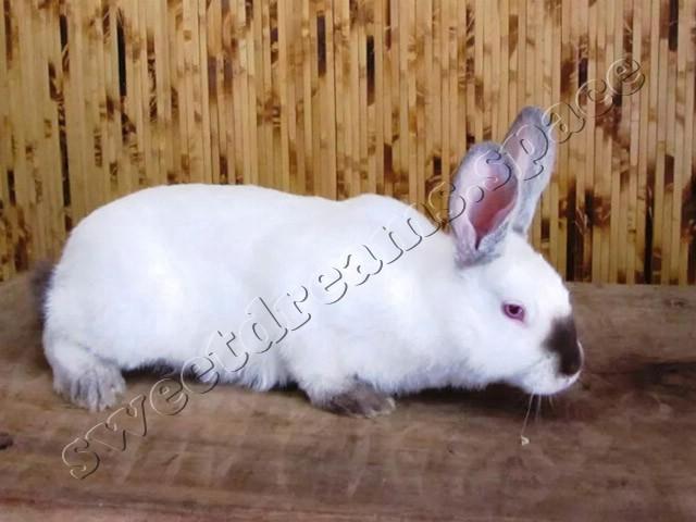 Кролик Хила / Hyla