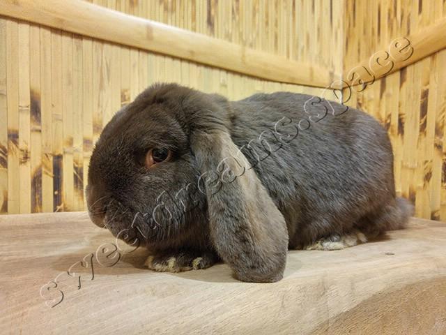 Kролик Французский Баран Гавана