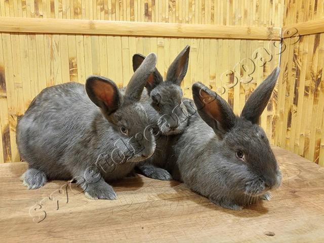 Кролики малыши Венский Голубой